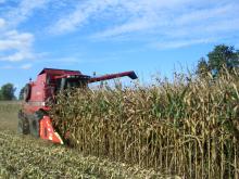 Reifen Mais nicht zu lange stehen lassen